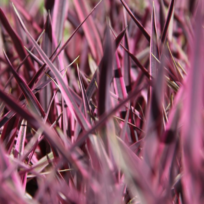 Cordyline 'Pink Passion'  ] 683405821953P - Flower Power