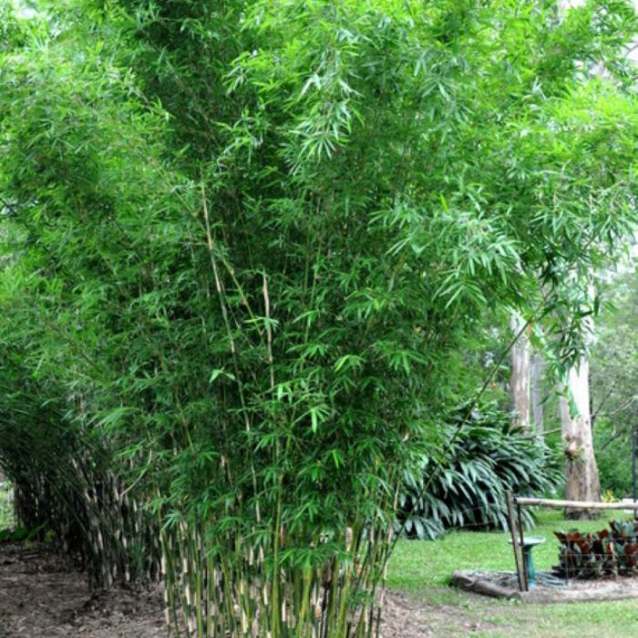 Hedging Bamboo  ] 683405823599P - Flower Power