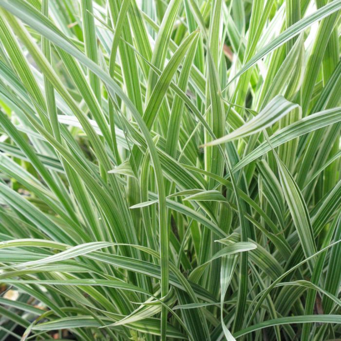 Stripey White Variegated Mondo Grass  ] 7157800190P - Flower Power
