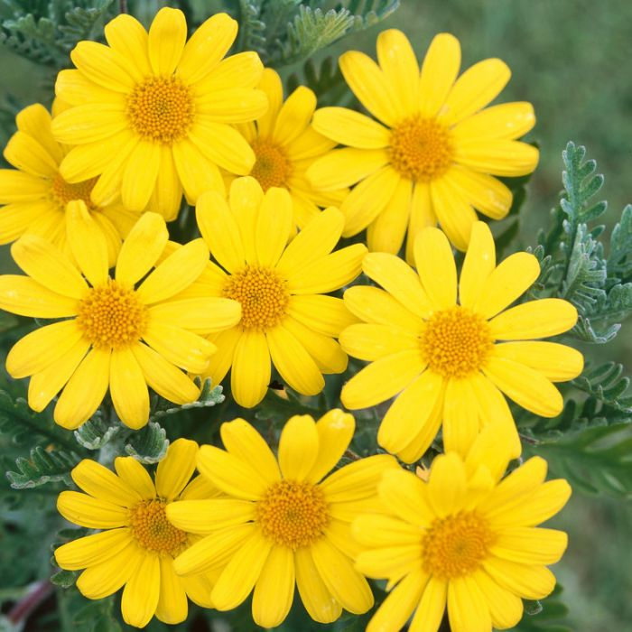 Euryops Little Sunray  ] 7323100140P - Flower Power