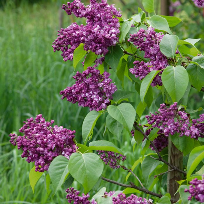 Syringa Vulgaris Mrs Edward Harding  ] 7420100250 - Flower Power