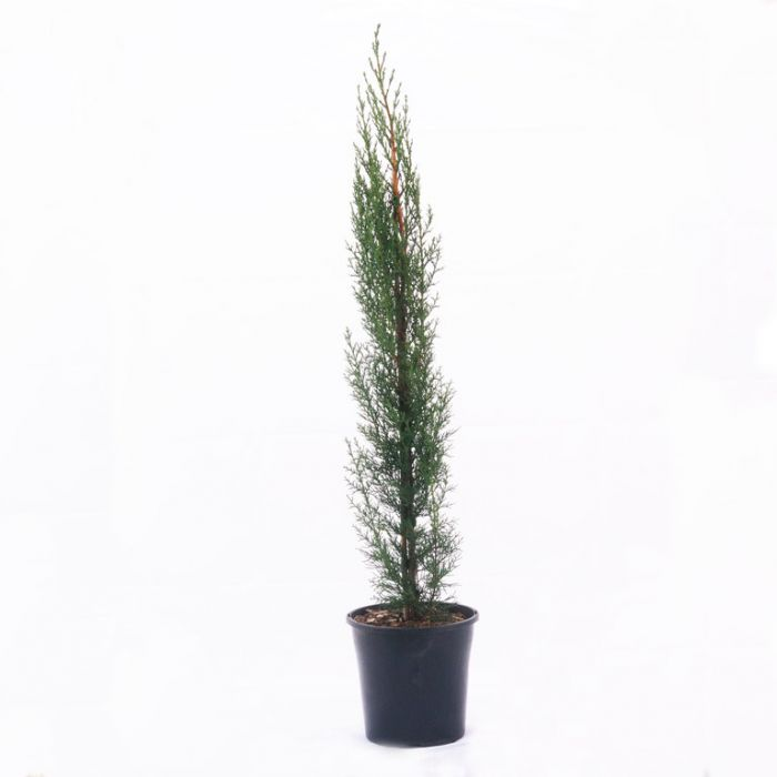 Conifer Pencil Pine  ] 7456800200P - Flower Power