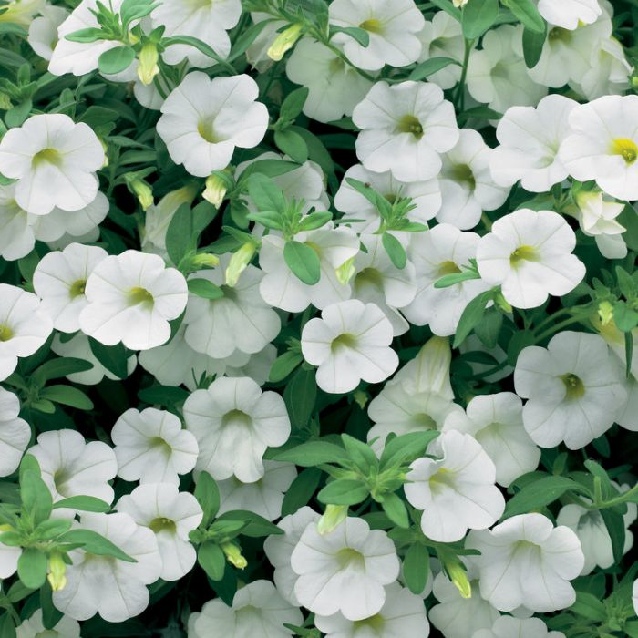 Petunia Million Bells White Chimes  ] 7871000140 - Flower Power