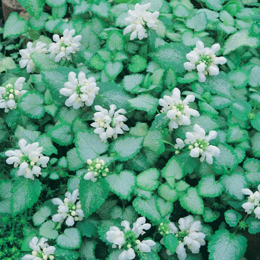 Lamium White Nancy  ] 7871700140P - Flower Power