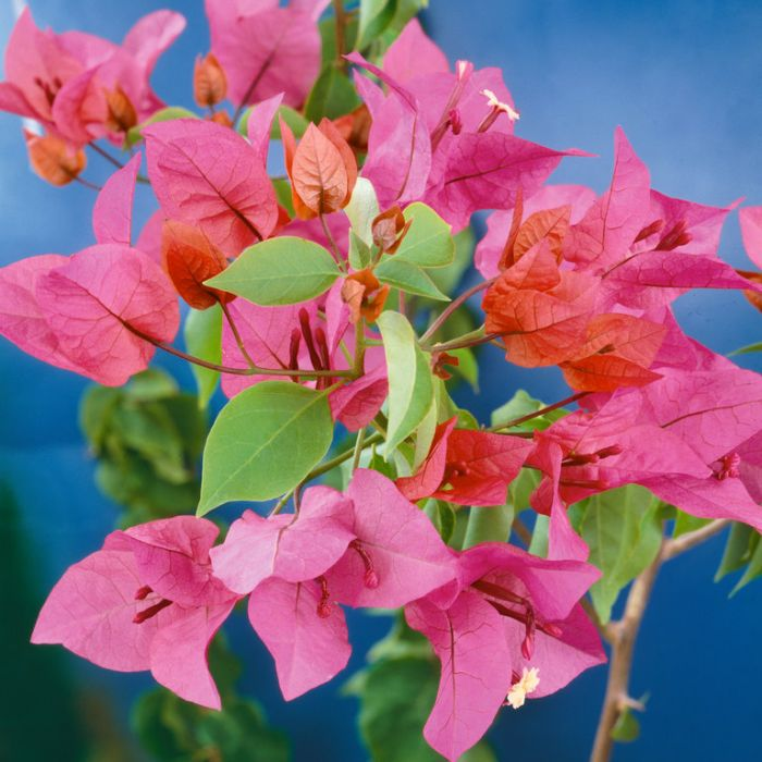 Bougainvillea Elizabeth  ] 8370200140P - Flower Power