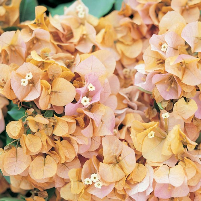 Bougainvillea Hawaiian Gold  ] 8381600140P - Flower Power