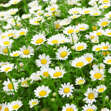 Chrysanthemum Snow Daisy  ] 8428901002P - Flower Power