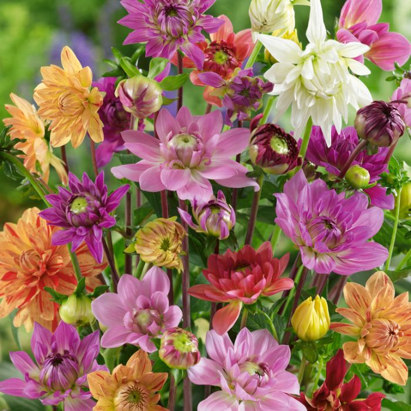 Dahlia Dwarf Mixed  ] 8429101002 - Flower Power