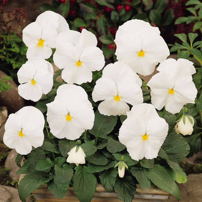 Pansy Clear White  ] 8430001002 - Flower Power