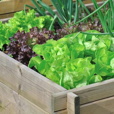 Lettuce Mixed  ] 8433301001 - Flower Power
