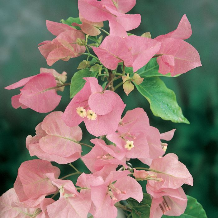 Bougainvillea Donyo  ] 8505220200 - Flower Power