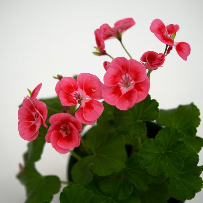 Geranium Fantasia Strawberry Sizzle  ] 9000050140 - Flower Power