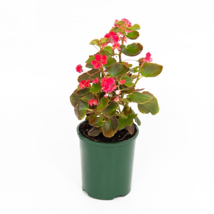 Doublet Red / Begonia  ] 9000160140P - Flower Power