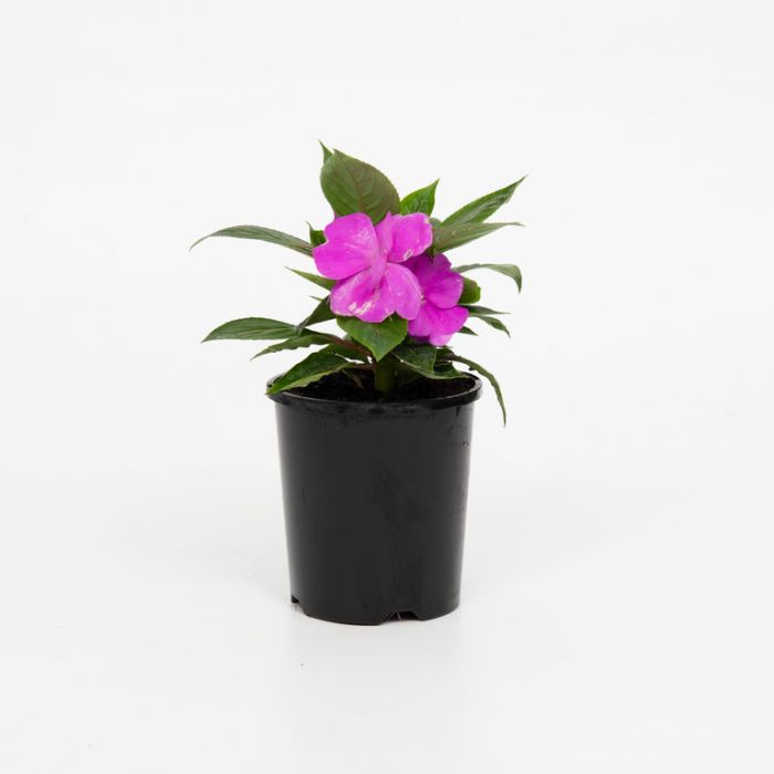 New Guinea Impatiens Harmony Dark Lilac  ] 9000440140P - Flower Power