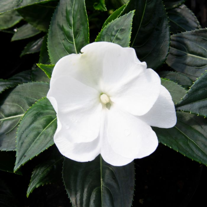 Impatiens 'Harmony White' Hanging Basket  ] 9000490027 - Flower Power