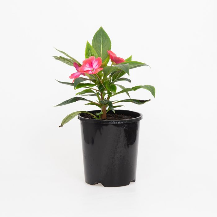 New Guinea Impatiens Harmony Radiance Magenta  ] 9000520140 - Flower Power