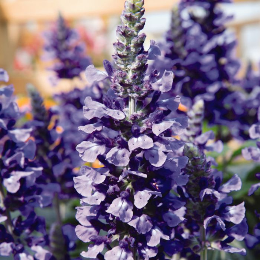 Salvia Mystic Spires Blue  ] 9000920140 - Flower Power