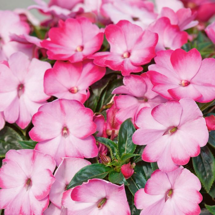New Guinea Impatiens Harmony Radiance Pink  ] 9000960140 - Flower Power