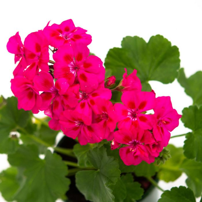 Geranium Fantasia Purple Sizzle  ] 9000970140 - Flower Power