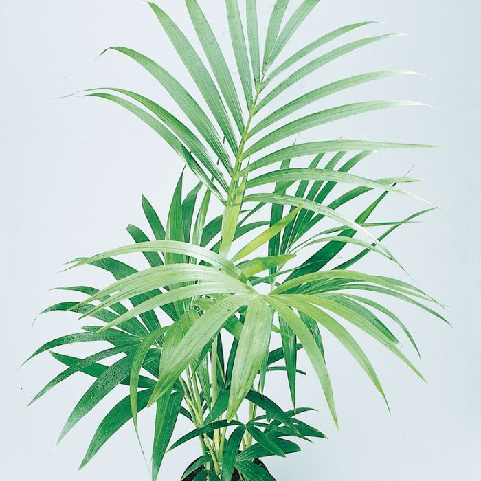 Kentia Palm  ] 9002260200P - Flower Power