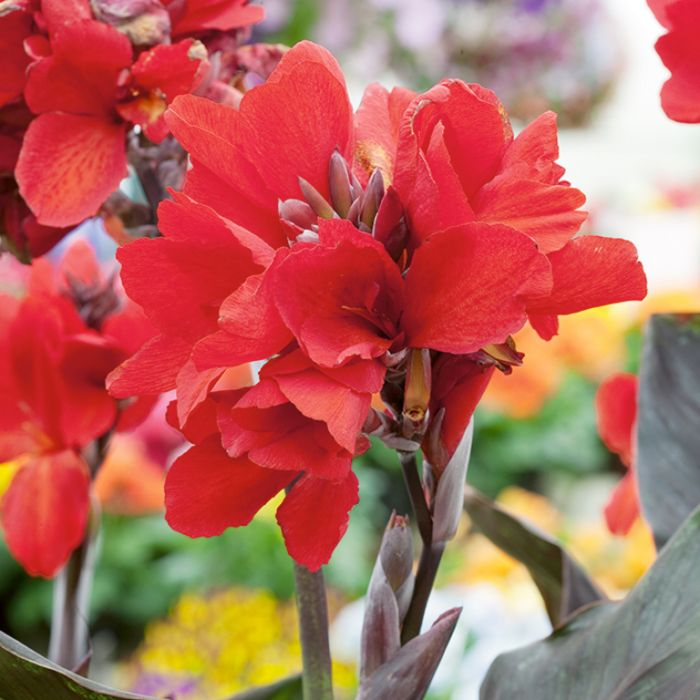 Cannova Bronze Scarlet Canna Lily  ] 9002420200P - Flower Power