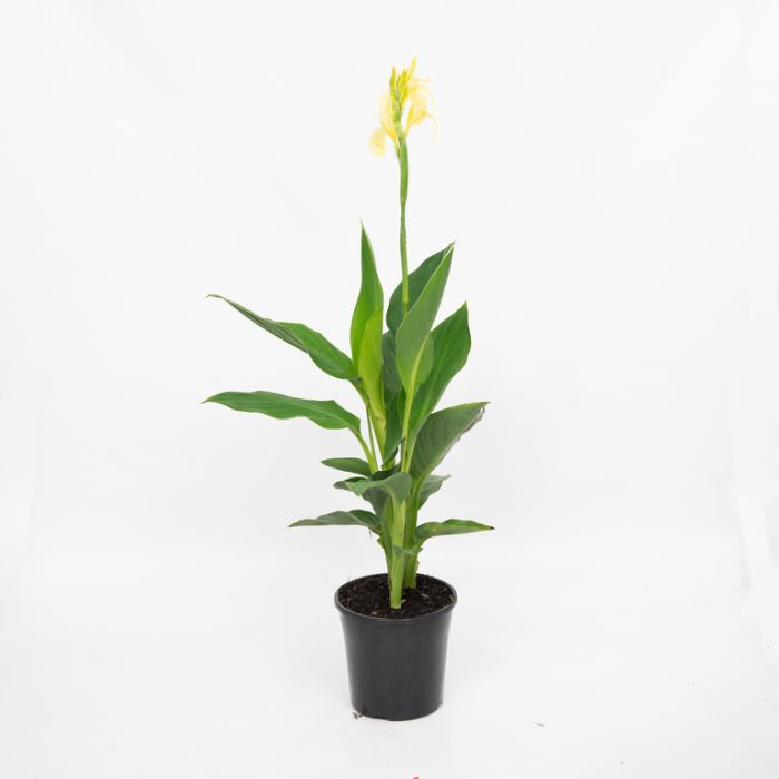 Cannova Lemon Canna Lily  ] 9002430200P - Flower Power