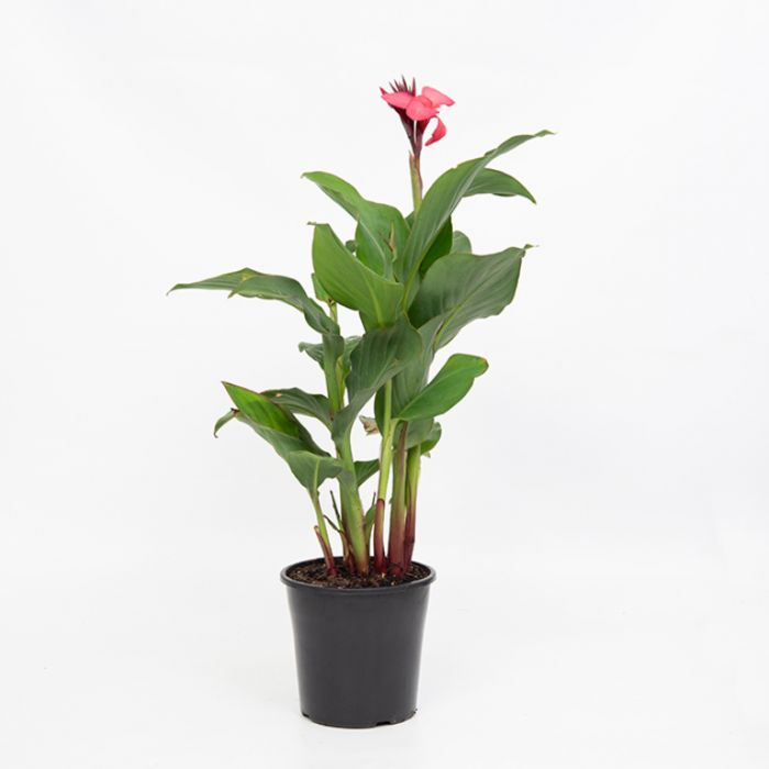 Cannova Rose Canna Lily  ] 9002450200P - Flower Power