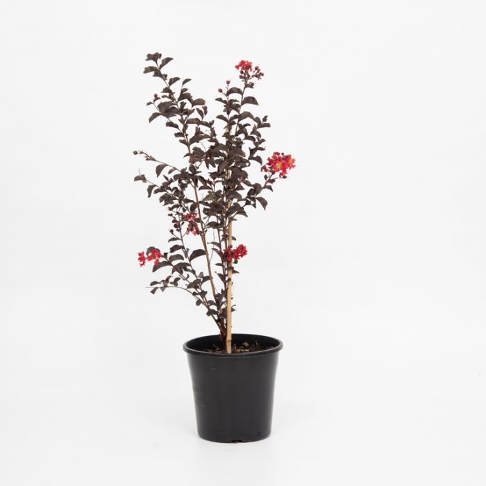 Lagerstroemia Diamonds in the Dark Crimson Red  ] 9003200200P - Flower Power