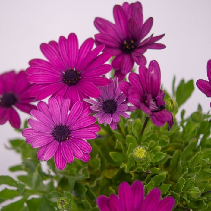Osteospermum Serenity Dark Purple  ] 9004330140 - Flower Power