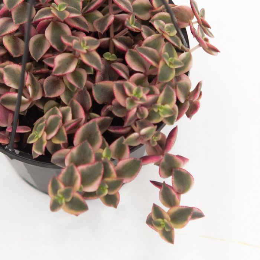 Crassula Isabella Hanging Basket  ] 9004750014 - Flower Power
