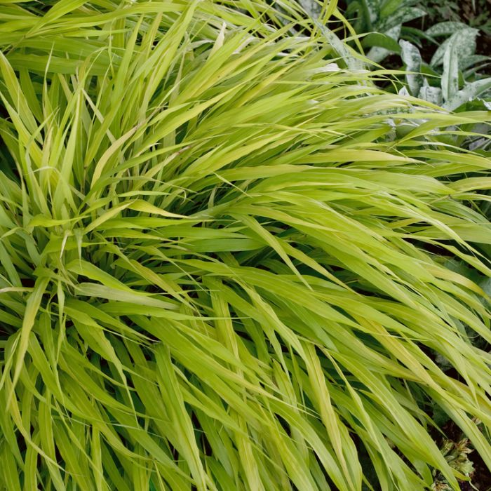 Hakonechloa All Gold  ] 9005080125P - Flower Power