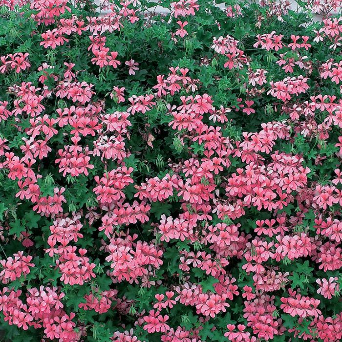 Geranium 'Ivy Fuchsia Pink' Hanging Basket  ] 9005130025 - Flower Power