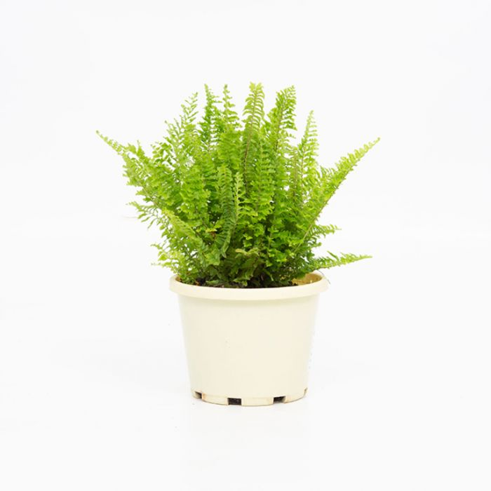Fluffy Ruffles Boston Fern  ] 9005250130 - Flower Power