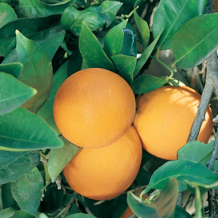 Dwarf Valencia Orange  ] 9005550140P - Flower Power
