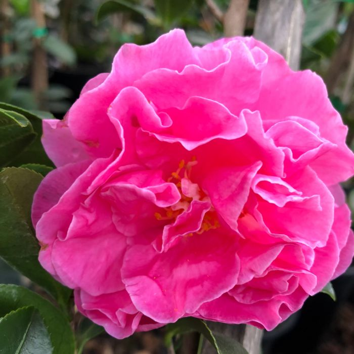 Camellia Sasanqua Slim & Trim  ] 9005610190 - Flower Power