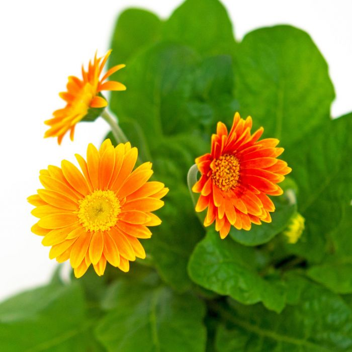 Gerbera Garvinea Sweet Caroline  ] 9010140180 - Flower Power