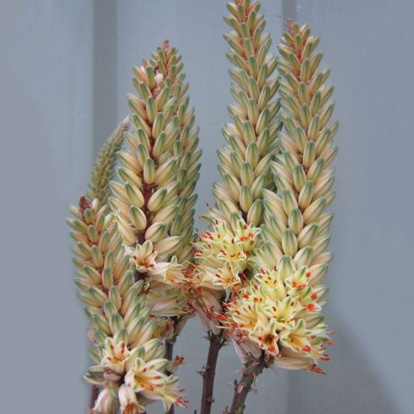 Aloe Sparkler  ] 9010340140P - Flower Power