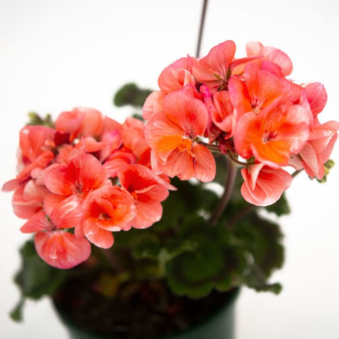 Geranium Fantasia Salmon Improved  ] 9010740140 - Flower Power