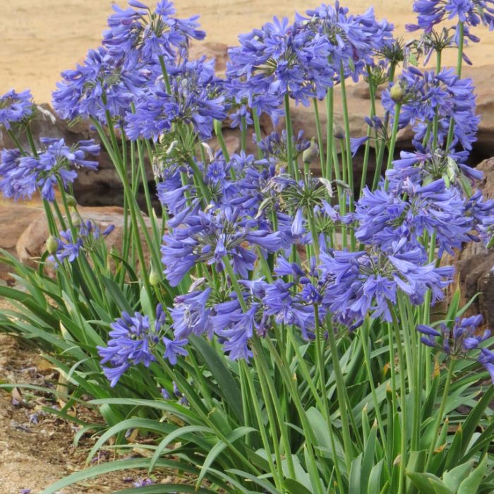 Agapanthus Bingo Blue  ] 9012280140 - Flower Power