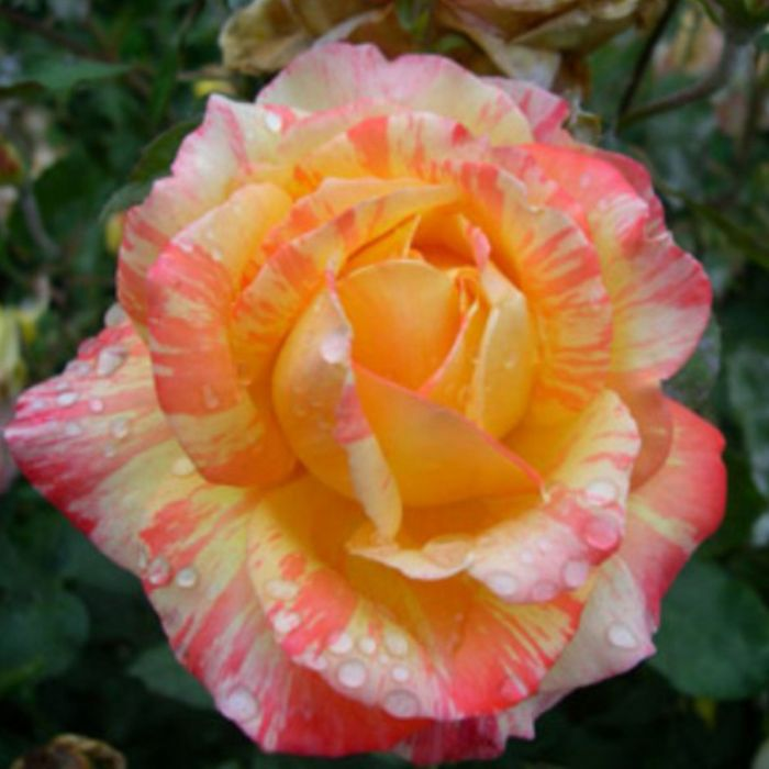 Tropical Sunset PBR Rose  ] 9014060200 - Flower Power