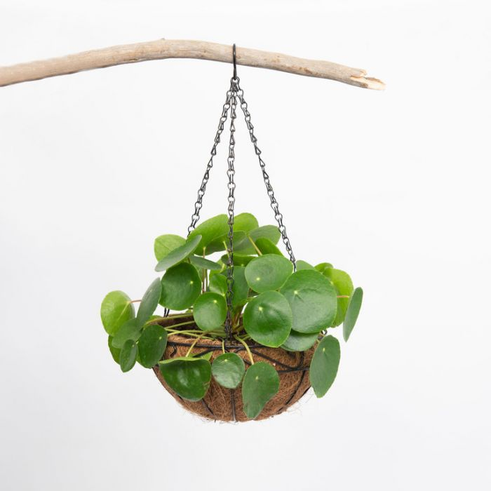 Chinese Money Plant Hanging Basket  ] 9014820025 - Flower Power