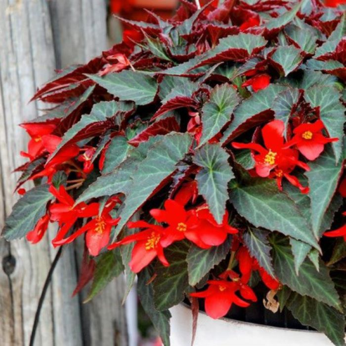 Begonia 'Summerwings Dark Elegance' Hanging Basket  ] 9015040020 - Flower Power