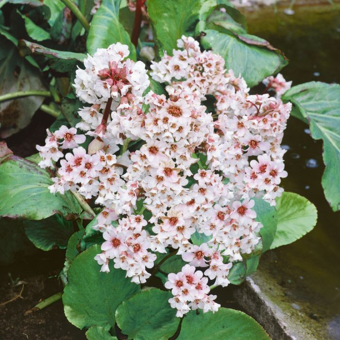 Bergenia Bressingham White  ] 9015130140 - Flower Power