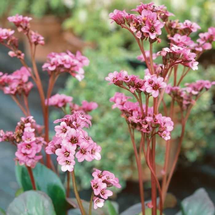 Bergenia Pink Dragonfly  ] 9015260140 - Flower Power