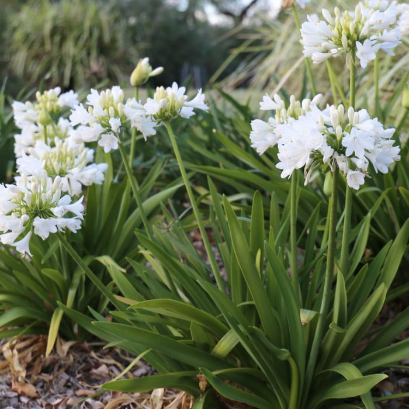 Agapanthus Bingo White  ] 9015440200 - Flower Power