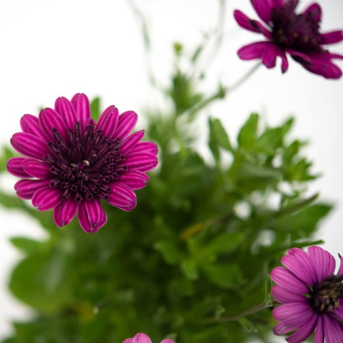 Osteospermum 3D Purple  ] 9019910140 - Flower Power