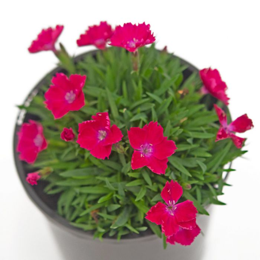 Carnation Hannah Scarlet  ] 9021550140 - Flower Power