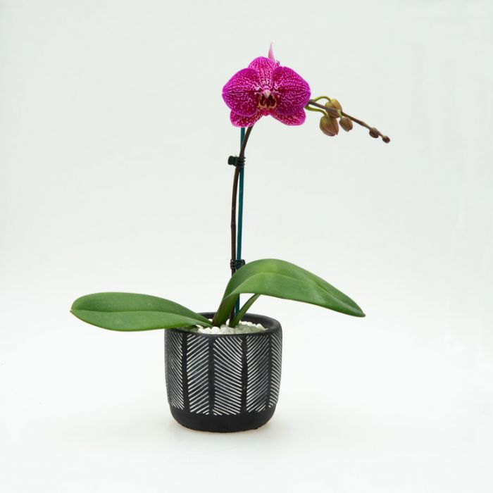 Living Trends Orchid in Ceramic Pot  ] 9022339999 - Flower Power