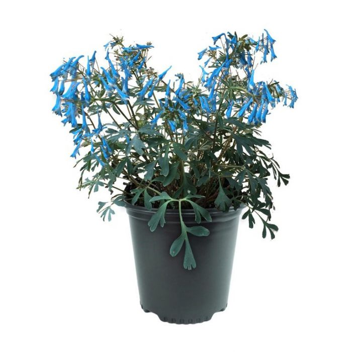 Corydalis Porcelain Blue  ] 9023140140 - Flower Power