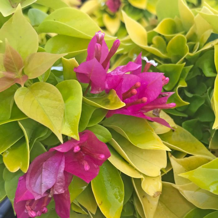Bougainvillea Pixie Gold  ] 9023560200 - Flower Power